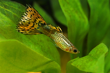 Guppy (Poecilia reticulata) male, freshwater aquarium fish  -  Wil Meinderts/ Buiten-beeld