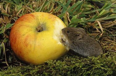 Common Vole (Microtus arvalis) eating an apple  -  Wil Meinderts/ Buiten-beeld
