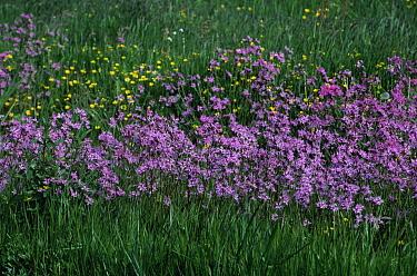 Ragged Robin (Lychnis flos-cuculi) in bloom, perennial  -  Wil Meinderts/ Buiten-beeld