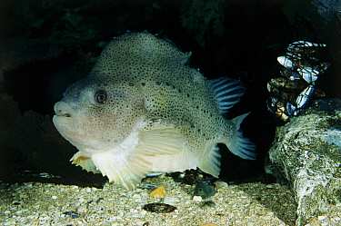 Lumpfish (Cyclopterus lumpus) portrait, harvested for eggs which are sold as inexpensive caviar, Europe and northeastern United States  -  Wil Meinderts/ Buiten-beeld