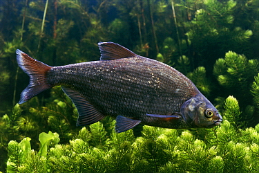 Common Bream (Abramis brama) swimming, Europe and Asia  -  Wil Meinderts/ Buiten-beeld