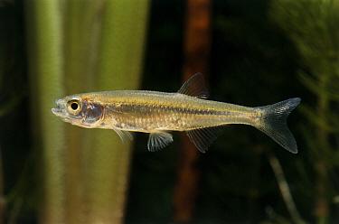 Sunbleak (Leucaspius delineatus) freshwater fish, Europe and Asia  -  Wil Meinderts/ Buiten-beeld