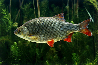 Rudd (Rutilus erythrophthalmus) swimming, freshwater fish, native to Europe, introduced into North America and New Zealand  -  Wil Meinderts/ Buiten-beeld