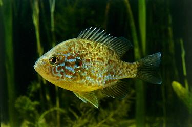 Pumpkinseed (Lepomis gibbosus) sunfish, a freshwater game fish, North America  -  Wil Meinderts/ Buiten-beeld