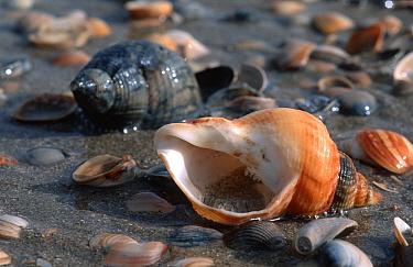 Common Northern Whelk (Buccinum undatum) among shells of other species of snails and bivalves on beach  -  Wil Meinderts/ Buiten-beeld