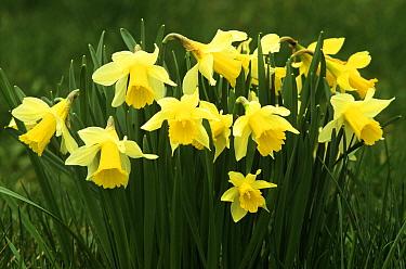 Daffodil (Narcissus pseudonarcissus) flowering  -  Wil Meinderts/ Buiten-beeld