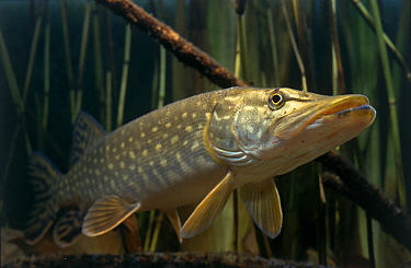 Northern Pike (Esox lucius) freshwater game fish found in northerly waters worldwide  -  Wil Meinderts/ Buiten-beeld