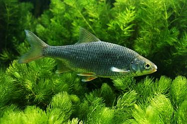 Roach (Rutilus rutilus) a game fish occurring in freshwater and brackish lakes, Europe  -  Wil Meinderts/ Buiten-beeld