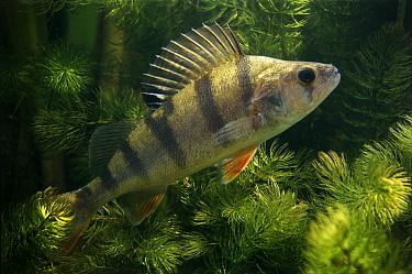English Perch (Perca fluviatilis) freshwater  -  Wil Meinderts/ Buiten-beeld