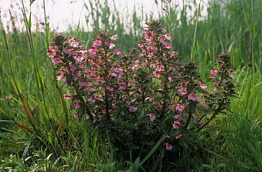 Marsh Lousewort (Pedicularis palustris) flowering  -  Wil Meinderts/ Buiten-beeld