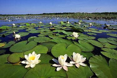White Water Lily (Nymphaea alba) flowering in lake, Netherlands  -  Wil Meinderts/ Buiten-beeld