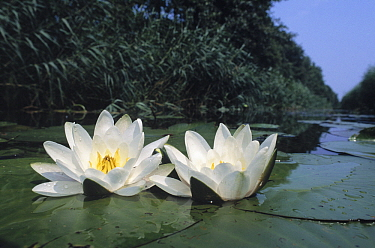 White Water Lily (Nymphaea alba) two flowers  -  Wil Meinderts/ Buiten-beeld