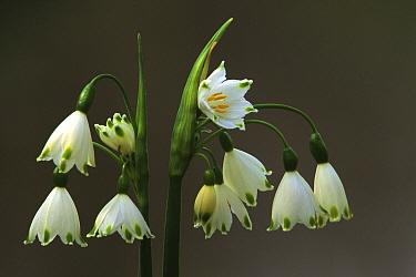 Summer Snowflake (Leucojum aestivum) flowering  -  Wil Meinderts/ Buiten-beeld