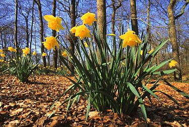 Daffodil (Narcissus pseudonarcissus) flowering, spring  -  Wil Meinderts/ Buiten-beeld