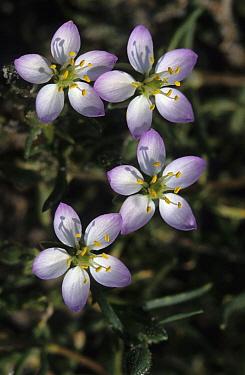 Salt Sandspurry (Spergularia salina) flowers  -  Wil Meinderts/ Buiten-beeld