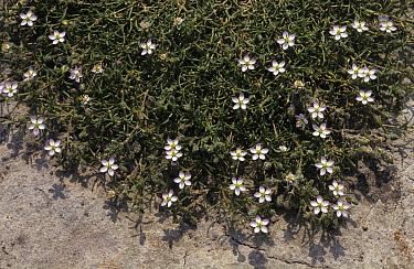 Salt Sandspurry (Spergularia salina) growing in beach sand  -  Wil Meinderts/ Buiten-beeld
