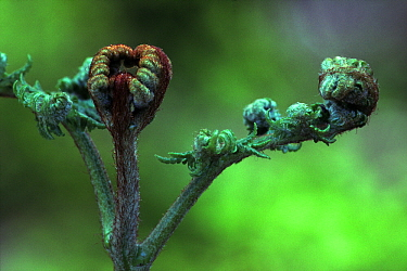 Bracken Fern (Pteridium aquilinum) young fiddleheads opening, worldwide distribution  -  Wil Meinderts/ Buiten-beeld