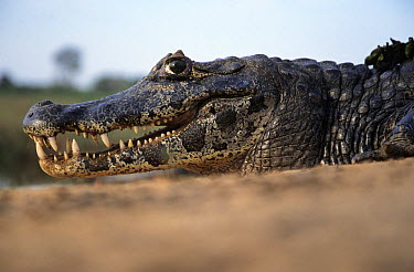 Black Caiman (Melanosuchus niger) portrait  -  Wim Klomp/ NiS