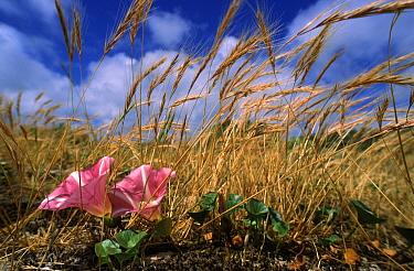 Seashore False Bindweed (Calystegia soldanella) flowering grass  -  Wim Klomp/ NiS