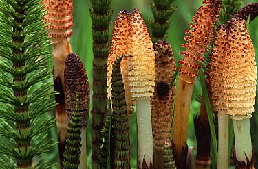 Horsetail (Equisetum sp) spore cones  -  Wim Klomp/ NiS