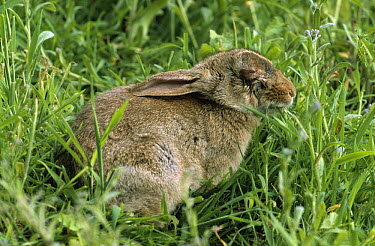 European Rabbit (Oryctolagus cuniculus) infected with myxomatosis, a viral infection that causes blindness and possibly death, Europe  -  Wim Klomp/ NiS