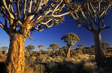 Quiver Tree (Aloe dichotoma)  -  Winfried Wisniewski