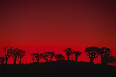 Quiver Tree (Aloe dichotoma) group at sunset, Namibia  -  Winfried Wisniewski