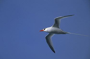 Red-billed Tropicbird (Phaethon aethereus) flying, Hawaii  -  Winfried Wisniewski