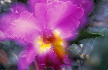 Orchid (Epidendrum latilabre) close up, Botanical Garden of Oahu, Hawaii  -  Winfried Wisniewski
