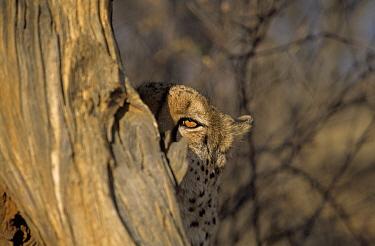 Cheetah (Acinonyx jubatus) peeking out from behind tree, Africa  -  Winfried Wisniewski