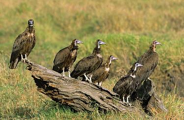Hooded Vulture (Necrosyrtes monachus) group perching on log, Africa  -  Winfried Wisniewski