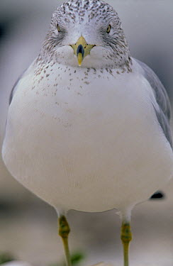 Ring-billed Gull (Larus delawarensis) close up portrait, North America  -  Winfried Wisniewski