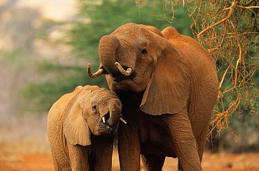 African Elephant (Loxodonta africana) mother with calf drinking, Africa  -  Winfried Wisniewski