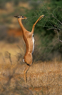 Gerenuk (Litocranius walleri) on hind legs browsing Acacia tree, Africa  -  Winfried Wisniewski