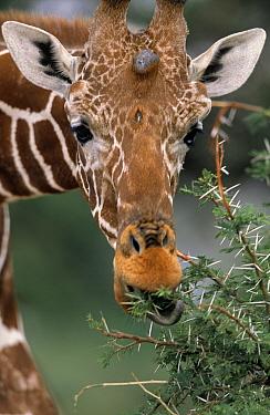 Reticulated Giraffe (Giraffa reticulata) feeding on Acacia tree, Africa  -  Winfried Wisniewski