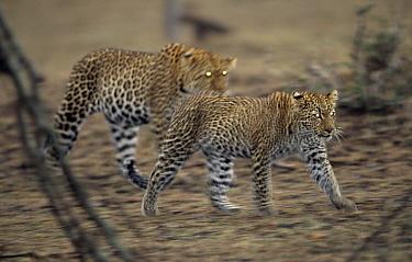 Leopard (Panthera pardus) pair walking at dusk showing eyeshine, Africa  -  Winfried Wisniewski