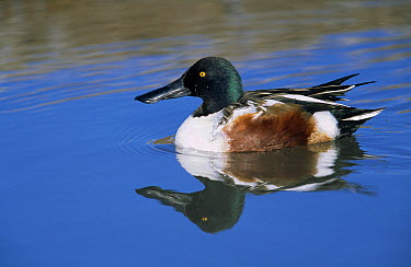 Northern Shoveler (Anas clypeata) male reflected in pond, native to Europe, Asia and North America  -  Winfried Wisniewski