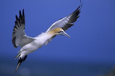 Cape Gannet (Morus capensis) flying, South Africa  -  Winfried Wisniewski