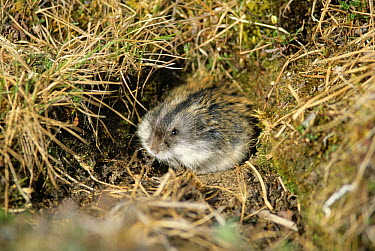 Brown Lemming (Lemmus sibiricus) at mouth of burrow, Taymyr Peninsula, Siberia  -  Winfried Wisniewski