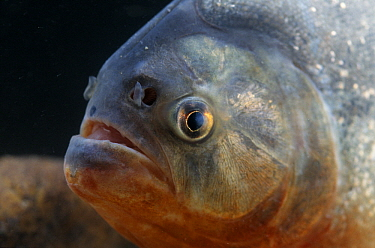 Red-bellied Piranha (Pygocentrus nattereri) close up of face in aquarium  -  Wil Meinderts/ Buiten-beeld