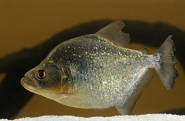 Red-bellied Piranha (Pygocentrus nattereri) swimming in aquarium  -  Wil Meinderts/ Buiten-beeld