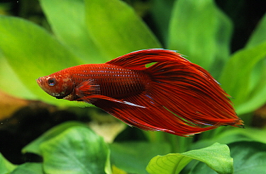 Siamese Fighting Fish (Betta splendens) swimming in aquarium  -  Wil Meinderts/ Buiten-beeld