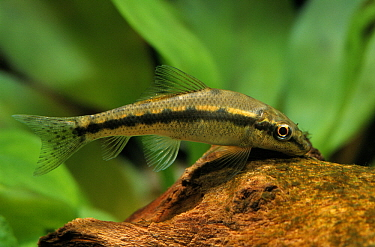 Algae Eater (Gyrinocheilus aynomieri) swimming in aquarium  -  Wil Meinderts/ Buiten-beeld