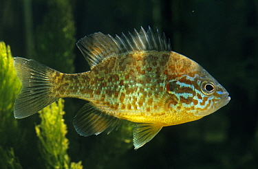 Pumpkinseed (Lepomis gibbosus) sunfish, a freshwater game fish, swimming in aquarium  -  Wil Meinderts/ Buiten-beeld