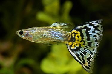 Guppy (Poecilia reticulata) swimming in aquarium  -  Wil Meinderts/ Buiten-beeld
