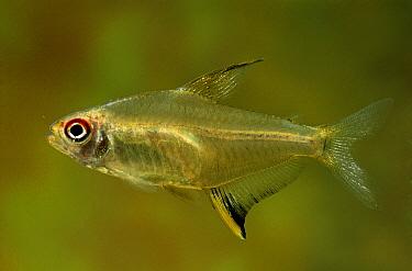 Lemon Tetra (Hyphessobrycon pulchripinnis) swimming in aquarium  -  Wil Meinderts/ Buiten-beeld