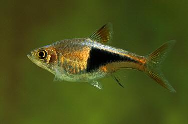 Harlequin Rasbora (Rasbora heteromorpha) swimming in aquarium  -  Wil Meinderts/ Buiten-beeld