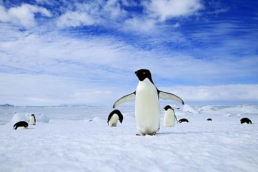 Adelie Penguin (Pygoscelis adeliae) group, Cape Hallett, Antarctica  -  Jan Vermeer