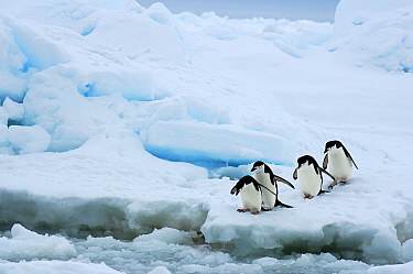 Chinstrap Penguin (Pygoscelis antarctica) group about to enter water, Southern Thule, South Sandwich Islands, Antarctica  -  Jan Vermeer