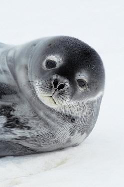 Weddell Seal (Leptonychotes weddellii) portait, Atka Bay, Antarctica  -  Jan Vermeer